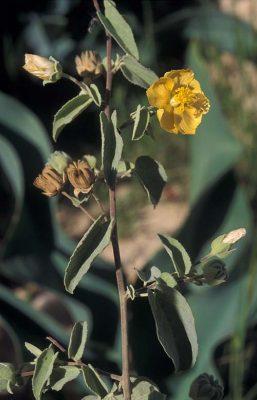Abutilon fruticosum Guill. & Perr.