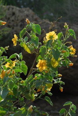 אבוטילון השיח Abutilon fruticosum Guill. & Perr.