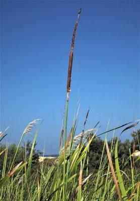 סוף הקרין Typha elephantina Roxb.