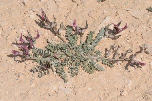 קדד אדומי Astragalus adpressiusculus Eig