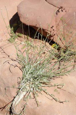אכילאה קרומית Achillea membranacea DC.