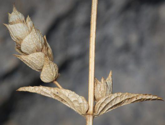 ברזילון ריסני Sideritis perfoliata L.