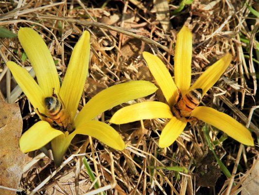 חלמונית זעירה Sternbergia colchiciflora Waldst. & Kit.