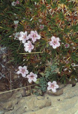 Acantholimon ulicinum (Schult.) Boiss.