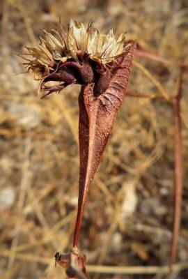Limonium lobatum (L.f.) Chaz.
