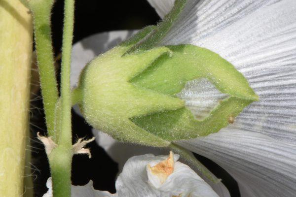 חטמית מסורטטת Alcea striata (DC.) Alef.