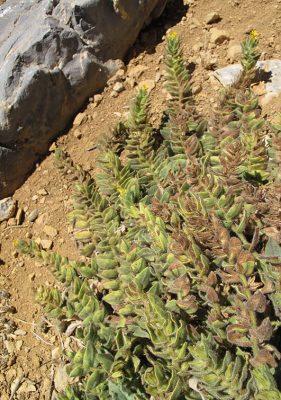 אלקנה מזרחית Alkanna orientalis (L.) Boiss.