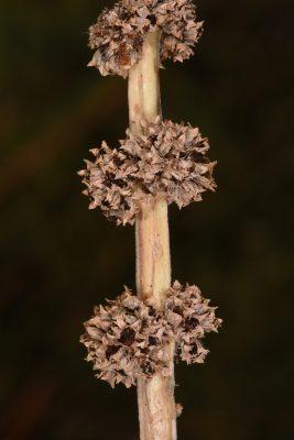 אמניה מצרית Ammannia baccifera L.