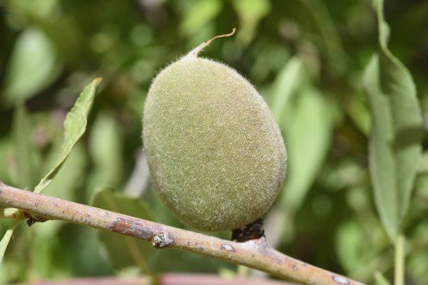 Amygdalus ramonensis Danin