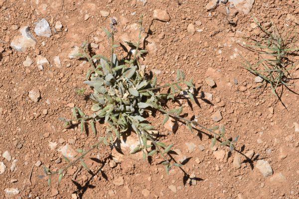 אנקון פגיוני Anchonium billardierei DC.