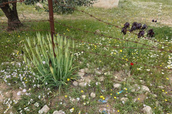 Iris nigricans Dinsm.