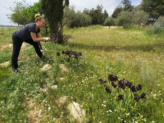 אירוס שחרחר Iris nigricans Dinsm.