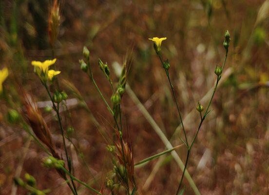 פשתה משולשת Linum trigynum L.