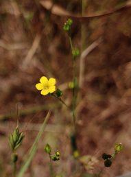 צבע הכותרת צהוב נקי, זהה לגוון הפרח בפשתה מצויה