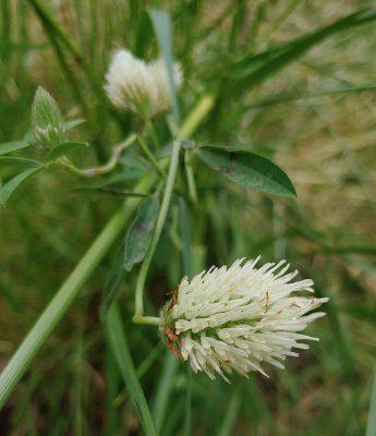 תלתן בירותי Trifolium berytheum Boiss. & Blanche