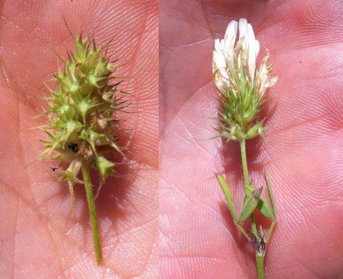 תלתן קושטא Trifolium constantinopolitanum Ser.