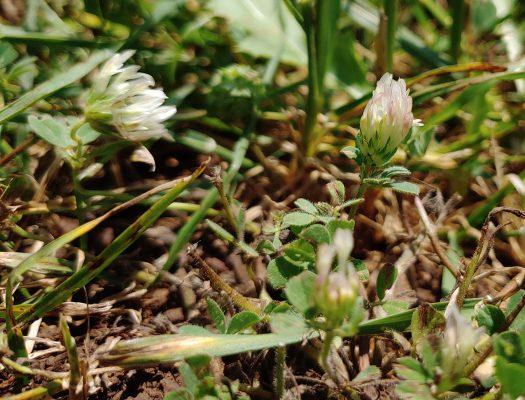 תלתן המגן Trifolium scutatum Boiss.