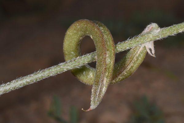 קדד אפיל Astragalus trimestris L.