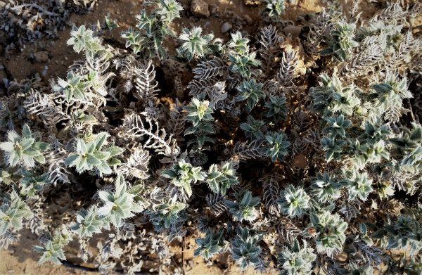 גלעינון החוף Moltkiopsis ciliata (Forssk.) I.M.Johnst.