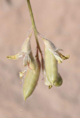 Astragalus aaronsohnianus Eig