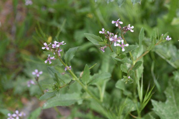 קרן-יעל קטנה Chorispora tenella (Pall.) DC.