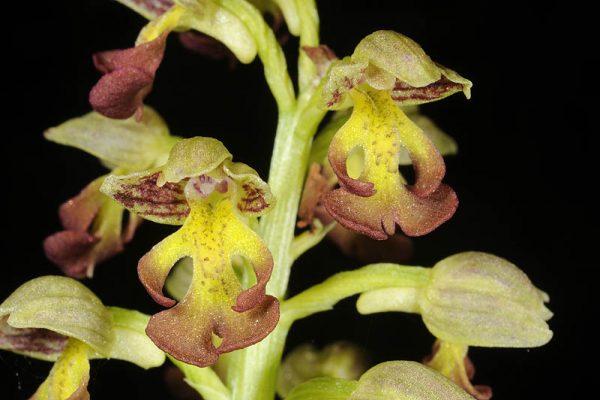 סחלב נקוד Orchis punctulata Stev. ex Lindl.