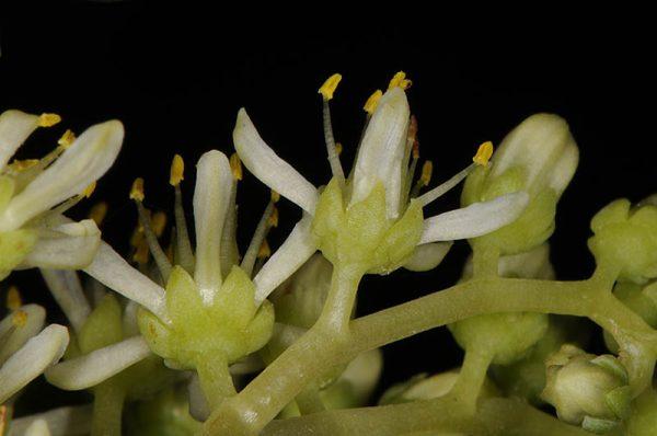 צורית גבוהה Sedum sediforme (Jacq.) Pau