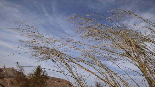 מלענן דראר Stipagrostis drarii (Taeck.) de Winter