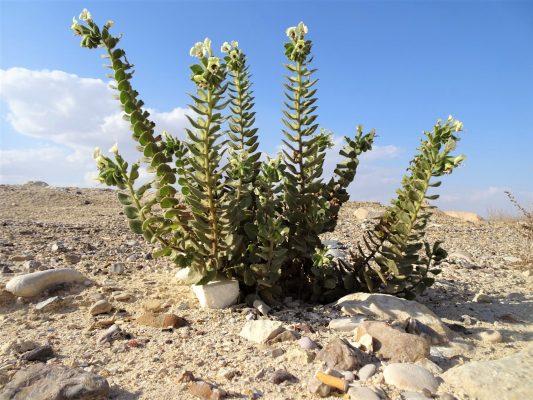 שיכרון מדברי Hyoscyamus desertorum (Aschers. ex Boiss.) Taeckh.
