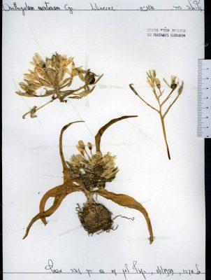 Ornithogalum montanum Cirillo