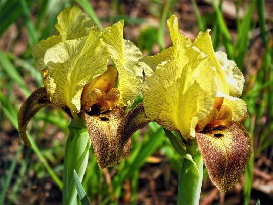 אירוס הארגמן Iris atropurpurea Dinsm.