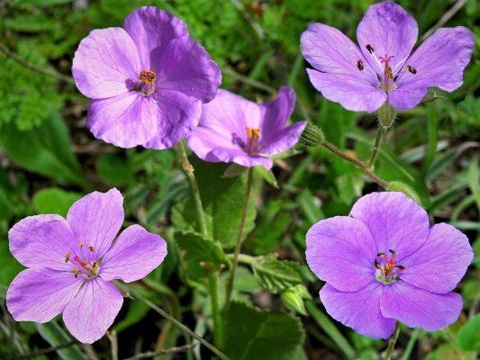 Erodium subintegrifolium Eig