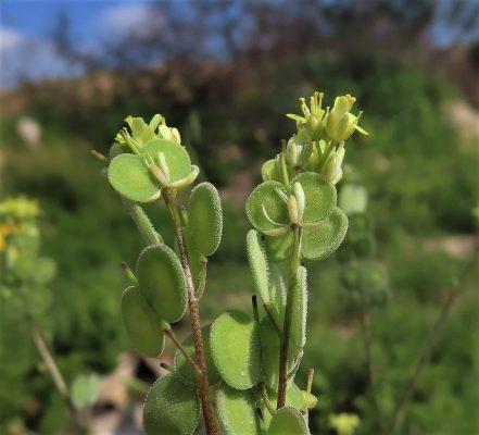 מצלתיים מצויות Biscutella didyma L.