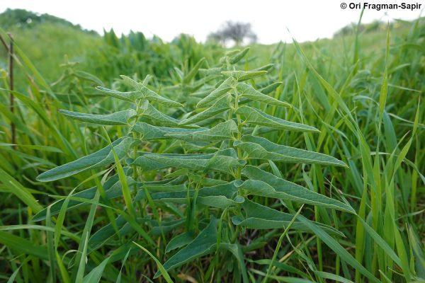 ספלול השדה Aristolochia bottae Jaub. & Spach