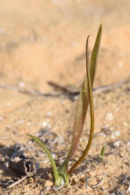 אחילוף זעיר Biarum olivieri Blume