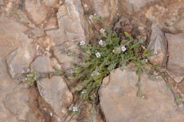 בולנתוס שעיר Bolanthus hirsutus (Labill.) Barkoudah