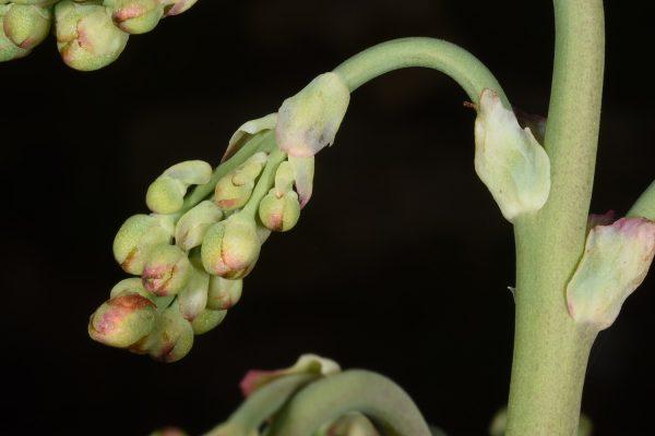 כרבולתן השדות Bongardia chrysogonum (L.) Griseb.