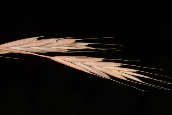 עוקצר היערות Brachypodium sylvaticum (Huds.) P.Beauv.