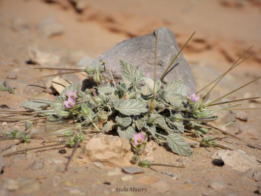 בהק צחור Monsonia nivea (Decne.) Decne. ex Webb