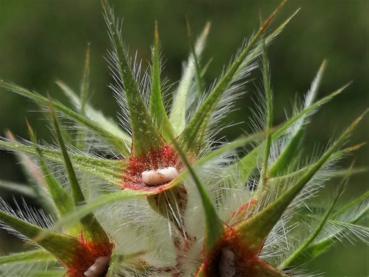 תלתן כוכבני Trifolium stellatum L.