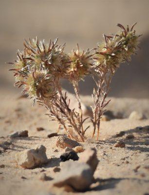 מחטנית המדבר Ifloga rueppellii (Fresen.) Danin