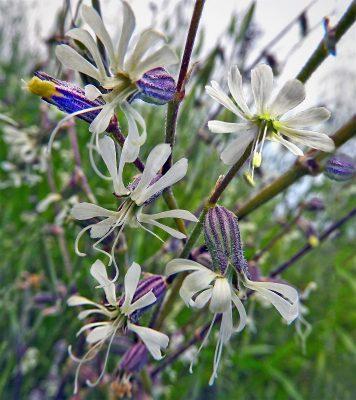 ציפורנית ענפה Silene dichotoma Ehrh.