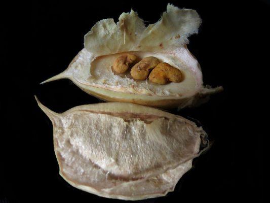 קדד פיינברון Astragalus aleppicus Boiss.