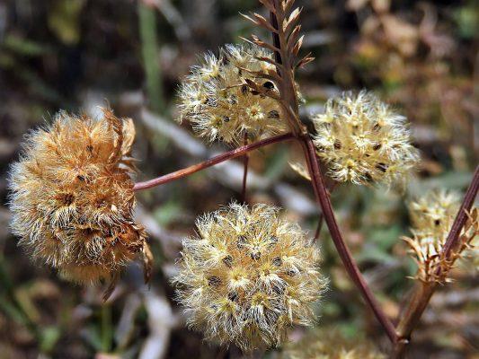 Lagoecia cuminoides L.