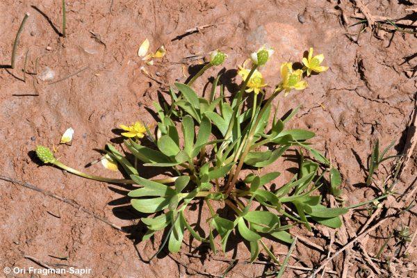 נורית זנובה Ranunculus myosuroides Boiss. & Kotschy