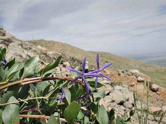 וינקה עשבונית Vinca herbacea Waldst. & Kit.