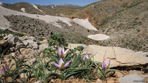 Tulipa aucheriana Baker