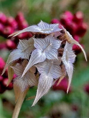 Trifolium clypeatum L.