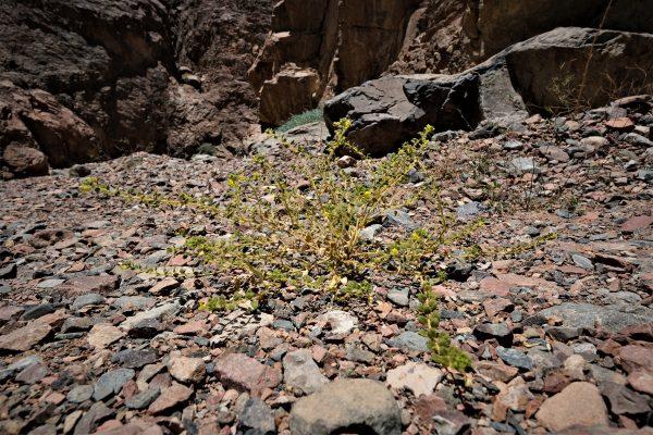 באשן זהוב-פרחים Cleome chrysantha Decne.