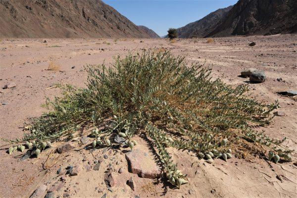 Solenostemma arghel (Delile) Hayne